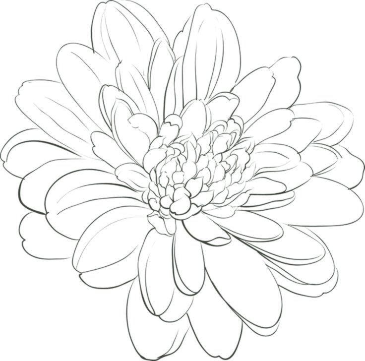 White Chrysanthemum Drawing Chrysanthemum Flower On White Chrysanthemum Drawing Flower White Chrysanthemum Drawing Flower Drawing Flower Drawing Design