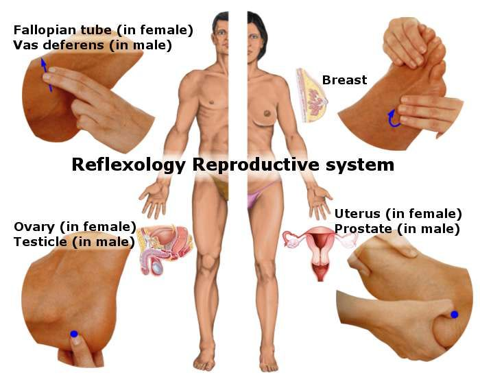 The world reproductive organ during sexual intercourse was