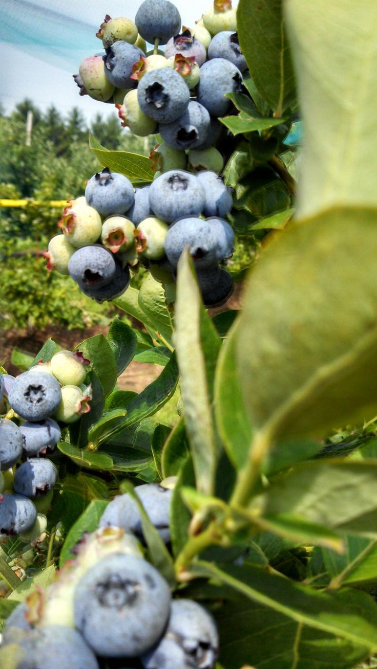 Plentiful berries make for an excellent UPICK Adventure for the little ones!