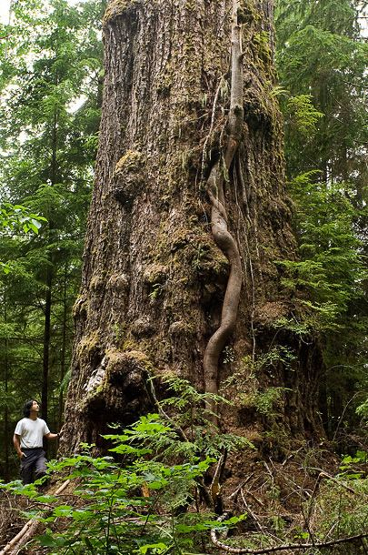 """The Red Creek Fir - World's LARGEST Douglas fir Tree! It grows in the San Juan Valley near the town of Port Renfrew, BC (Directions: http://www.ancientforestalliance.org/directions-red-creek-fir.php) The 1000+ year old tree, a major tourist attraction in the region, stretches more than 73.8m (242ft) high with a trunk 4.2m (13' 9"""") wide yet has been afforded no legislated protection from the BC Government."""