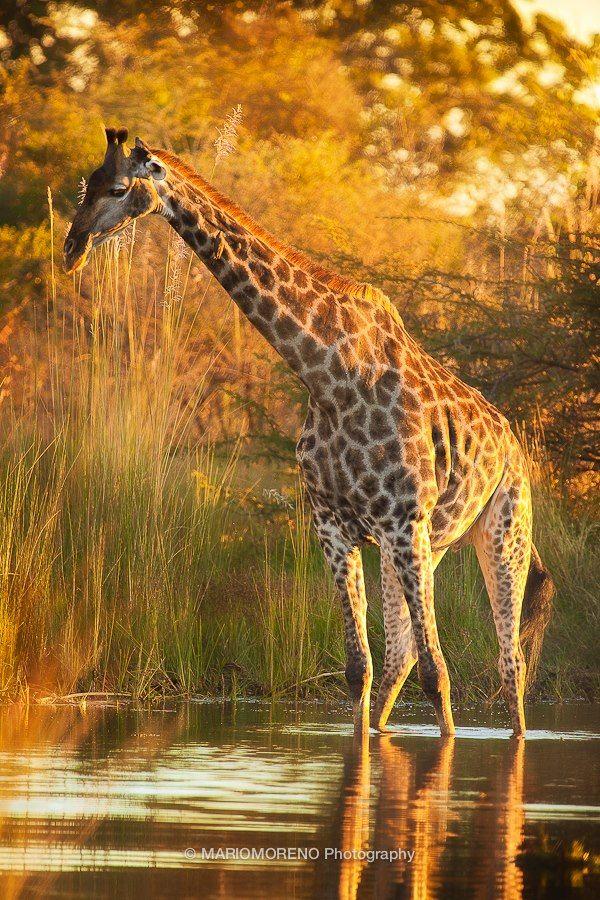 Okavango Giraffe A Giraffe crossing a flooded area in Moremi Game Reserve in the heart of the Okavango Delta in Botswana.