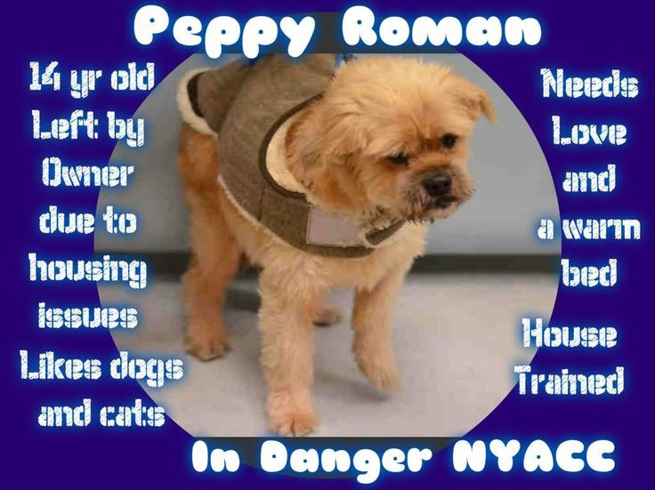 PEPPY ROMAN – A1096850   NYC ACC is killing more dogs on 11/18/16! Please share to help save him!