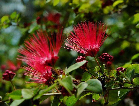 Heirloom 150 Seeds Albizia julibrissin Mimosa Tree by seedsshop, $1.79