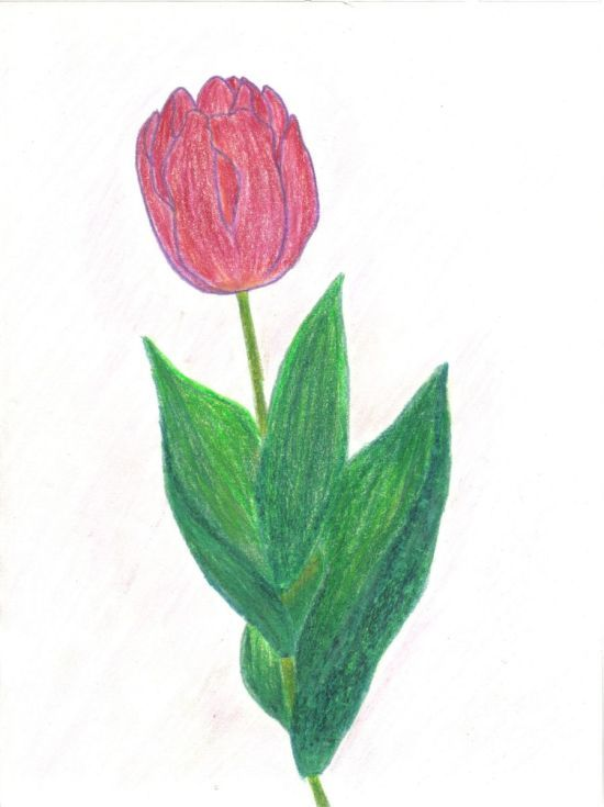 Buy Purple tulip, Pencil drawing by Caroline Andreea Zgortea on Artfinder. Discover thousands of other original paintings, prints, sculptures and photography from independent artists.