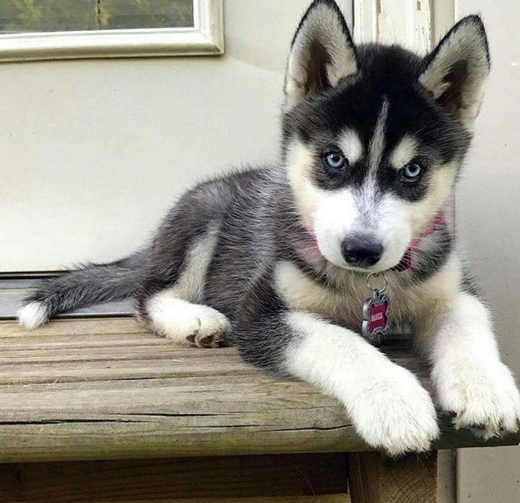 Husky Puppy In 2020 Cute Husky Puppies Cute Puppies Siberian