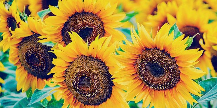 7 tips and tricks to get the most out of your sunflowers - countryliving.co.uk, http://www.countryliving.co.uk/news/how-to/a575/how-when-to-plant-sunflower-seeds/