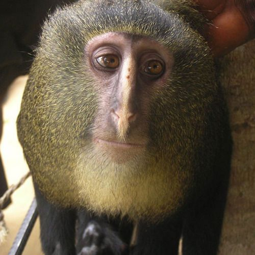 This is a new species of monkey which has been identified in Africa...known locally as the lesula.: Democrat Republic, The Scientist, Cercopithecus Lomamiensi, Guenon Monkey, Nairobi Kenya, Lesula Monkey, Monkey Species, Eye, Monkey Discover