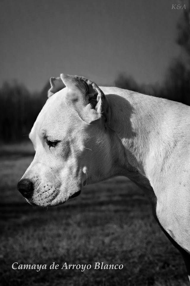 Dogo Argentino Dog Breeds Dogs Hunting Dogs