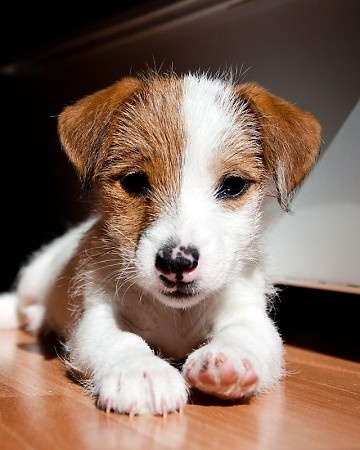 Our 2011 Puppies Photo Contest winner: Logan, a Parson Russell terrier