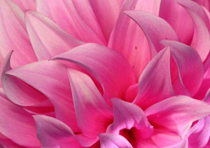 Pink dahlia flower close up flower photography от BKPhillipsArt