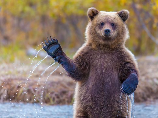 25+ best ideas about Waving bear on Pinterest | Cute bears ... Cute Grizzly Bear Waving