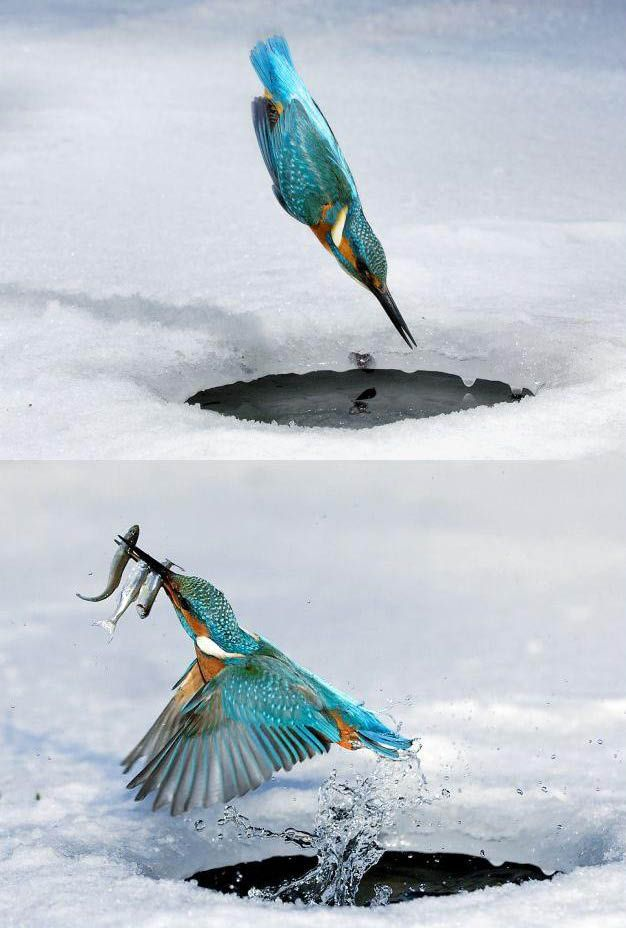 Triple Kill: The Kingfisher makes a perfect dive at 100 km/hr into the little frozen hole in Germany to catch fish for food.Like A Boss, Ice Fish, Little Birds, Kingfisher, Fast Food, Ice King, Hummingbirds, Animal, Feathers Friends