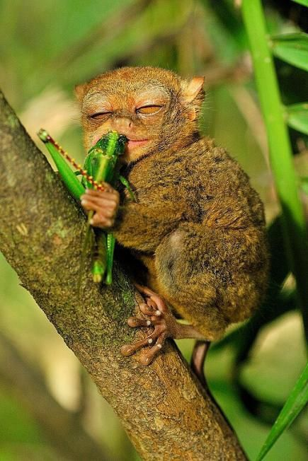 Tarsier - found in Bohol, Phillipines, trying to imitate the girl on that guiradelli commercial