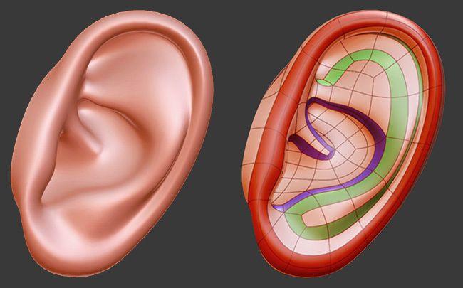 human ear topology