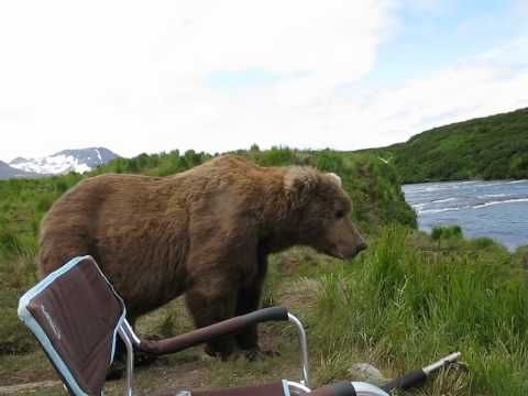 Camera Captured When A Wild Brown Bear Serenely Sat Down Alongside A Photographer In Alaska