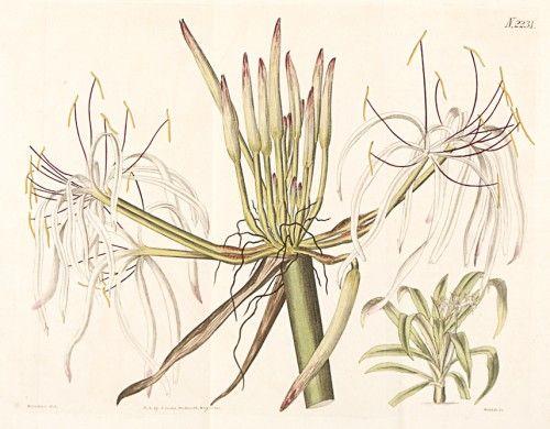 Henry Sotheran's - Botanical Prints
