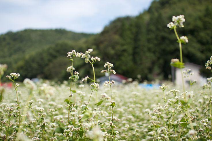 長野:そばの花 Flowers of buckwheat, Nagano...