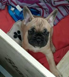 2 wunderschöne Reinrassige Französische Bulldoggen Damen/Welpen in Hessen - Baunatal | Doggen und Doggenwelpen kaufen | eBay Kleinanzeigen