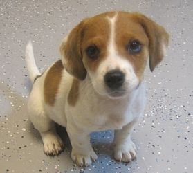 Jack Russell Beagle Pictures to Pin on Pinterest - TattoosKid