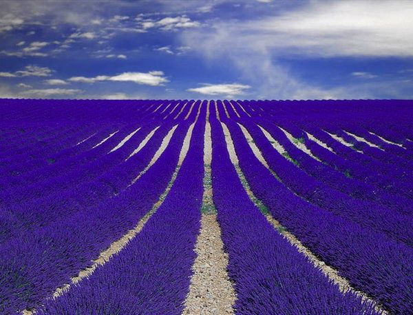 Lavender fields in Provence - France