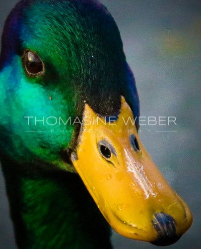 Mallard Duck Fine Art Metallic Photograph 8431