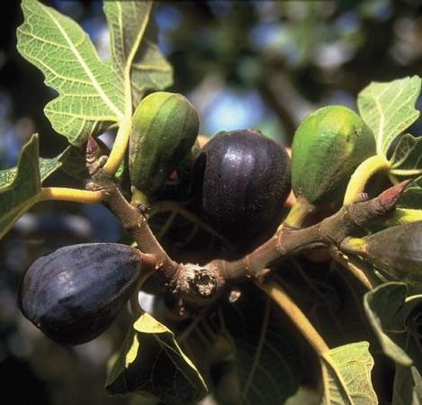 This article will teach you how to prune a fig tree and how to espalier a fig tree.