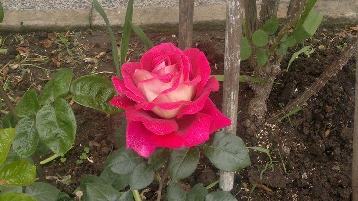 Rosa del Rosario