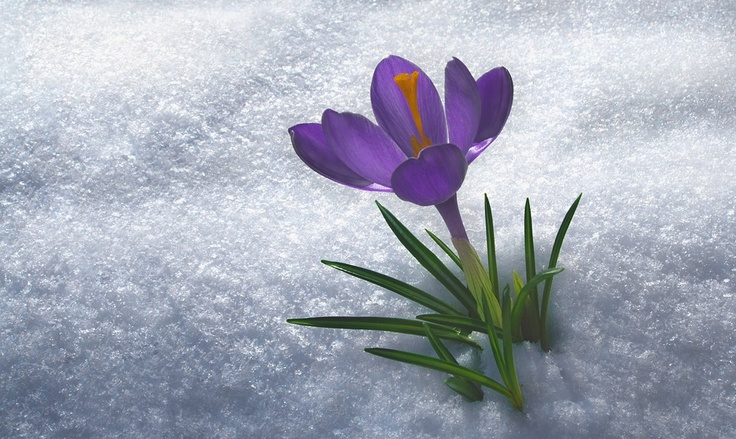 Crocus in the snow...