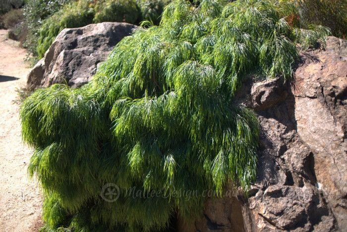 My favourite Acacia cognata dwarfs