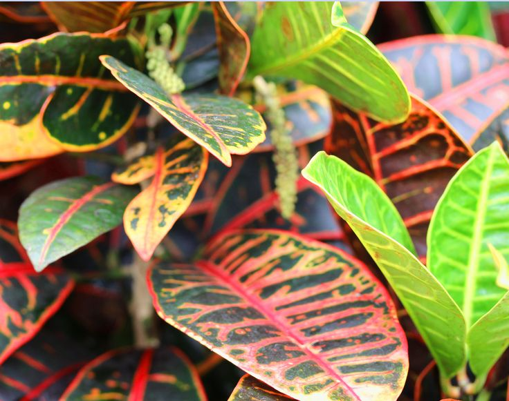 Croton petra codiaeum variegatum petra very colorful indoor plant sometimes called joseph - Indoor colorful plants ...