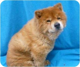 Toby Chow Chow At Oregon Human Society In Need Of A Forever Home
