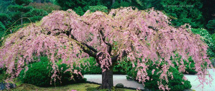 Japanese Garden Weeping Cherry Tree Planting Flowers