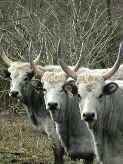 Hungarian Grey Cattle, szürkemarha