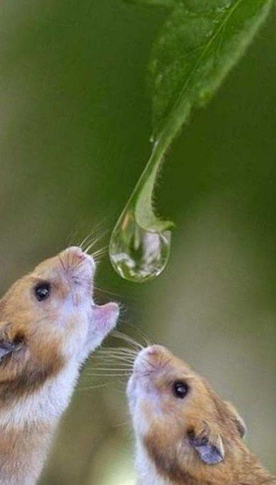 Well timed shot, capturing a lovely photograph of a wee mouse getting a drink from a dew drop.