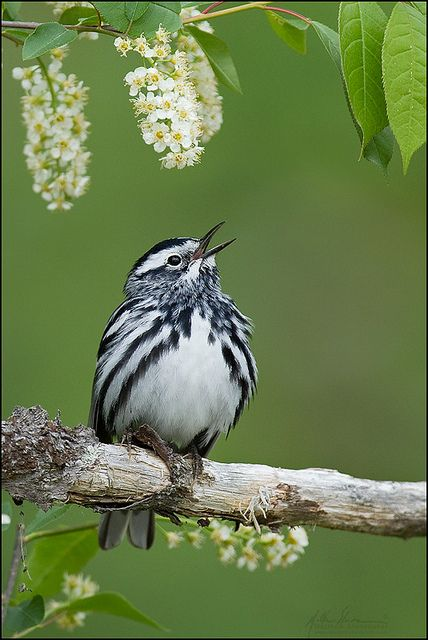 Black-and-White Warbler (Mniotilta varia) singing