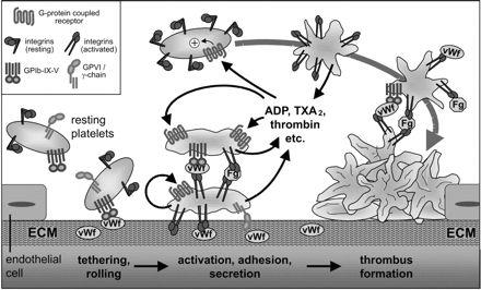 Von Willebrand Factor in Cardiovascular Disease