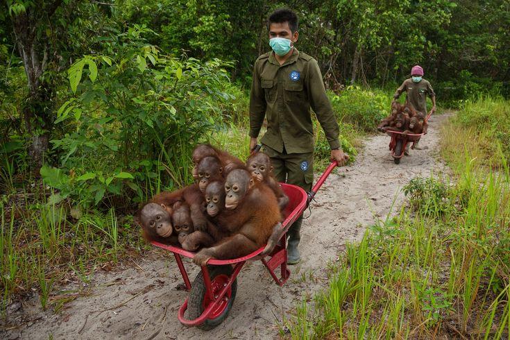 Orangutanes huérfanos como consecuencia de los incendios de 2015. Los cuidadores los llevan a jugar en el bosque, donde aprenderán algunas de las habilidades básicas de supervivencia. Tim Laman: Fotógrafo de Naturaleza del Año