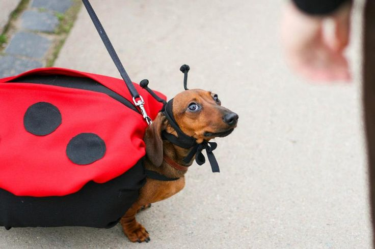 how to train a dachshund to come