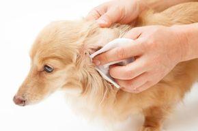 Limpiar orejas a un perro paso a paso. Limpiar las orejas al perro es una conducta que deberíamos llevar a cabo de forma regular, ya se trate de un cachorro o un perro adulto. Es muy importante aplicar un...