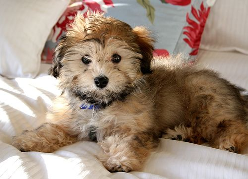 Havanese. If I were to consider a small dog, this would be my choice. 10-13 lbs. Intelligent, sociable, easy to train. Good for apartment life. Daily walks. Can be expensive because they're popular :(