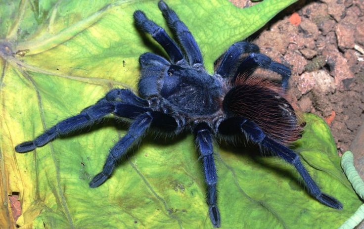 """Spiders"" Newly Discovered Species: Blue Tarantula Breathtakingly beautiful, this iridescent hairy blue"
