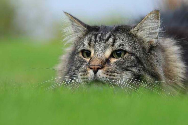 Норвежская лесная кошка на охоте.