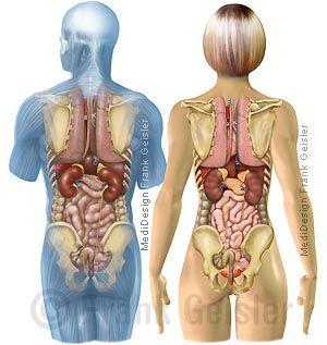 Anatomie Mensch, Organe Mann und Frau im Körper