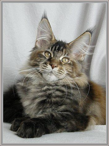Maine Coon, black torti tabby blotched (f 22). CZ*Caramellocoon's Jessica Note