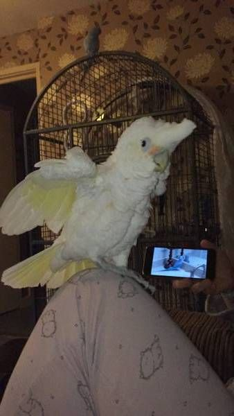 LOST COCKATOO: 29/05/2017 - Basildon, Basildon District, Essex, England, United Kingdom. Ref#: L30672 - #ParrotAlert #LostBird #LostParrot #MissingBird #MissingParrot #LostCockatoo #MissingCockatoo