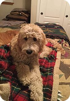 Torrance, CA - Goldendoodle Mix. Meet Max, a dog for adoption. http://www.adoptapet.com/pet/18143027-torrance-california-goldendoodle-mix