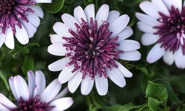 Image result for field spring flowers background osteospermum 4D Berry white