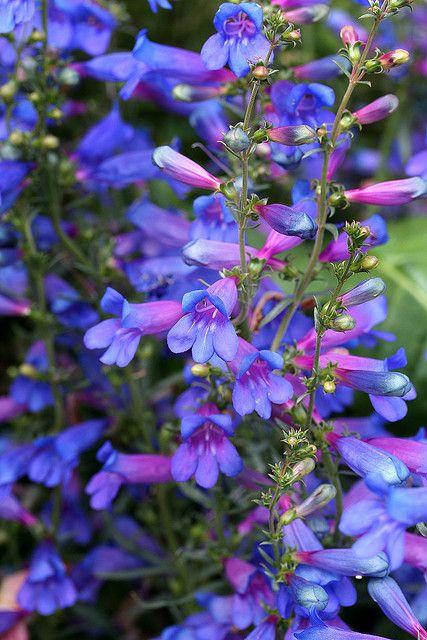 Purple Penstemon Flowers - 'Blue Springs'