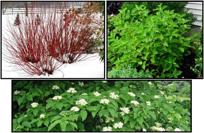 5 Best Shrubs And Bushes For Curb Appeal In Minnesota Kg Landscape Management Minnesota Landscaping Red Twig Dogwood Garden Shrubs