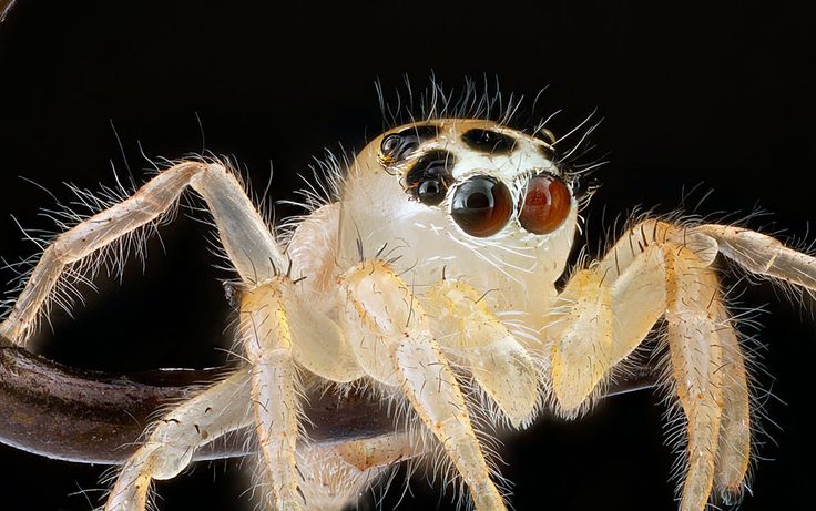 Unknown Jumping spider, Beltsville, Maryland, possibly an immature Thiodina sylvana. CC BY USGS / Sam Droege | 9.13.2013 article